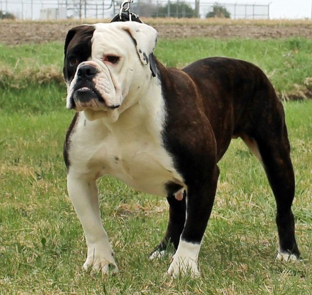 The Best Olde Bulldogge Bulldog Images Olde English Bulldogge