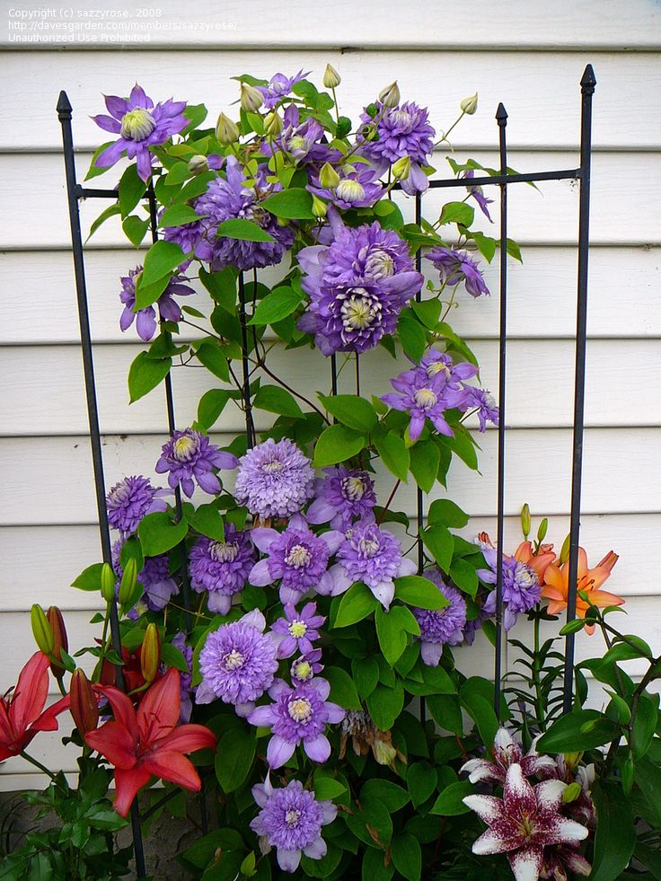 Full size picture of Early, Large-flowered Clematis 'Blue Light' (<i>Clematis</i>)