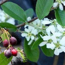 krentenboompje, krenten, amelanchier alnoifolia, bessenstruik, bessen, bessenstruiken