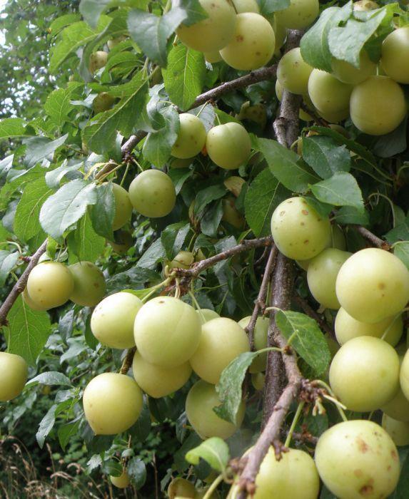 Yellow Roadside Plum In 2020 Fruit Trees For Sale Fruit Trees Fruit