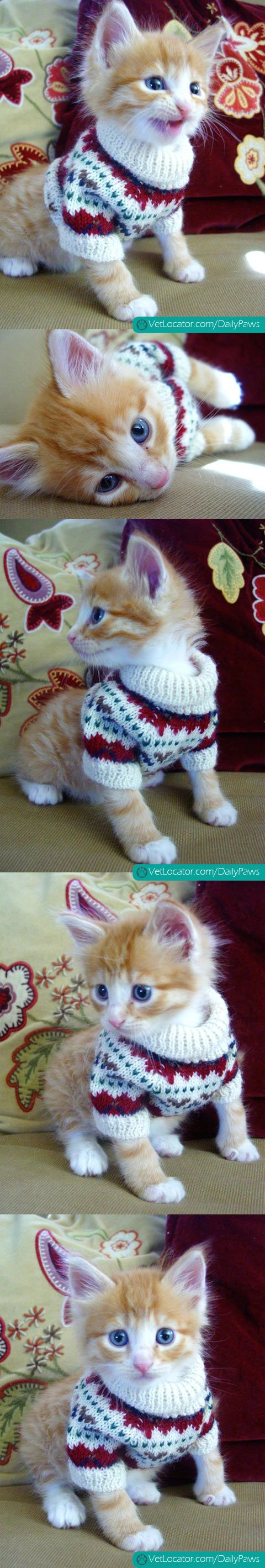Adorable Kitten in a Sweater - http://www.vetlocator.com/dailypaws/2013/04/adorable-kitten-in-a-sweater/