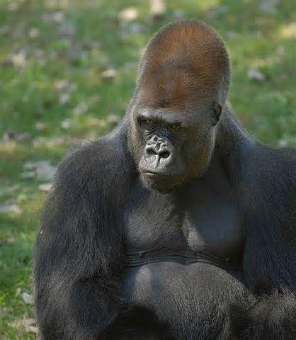 25 best ideas about silverback gorilla on pinterest