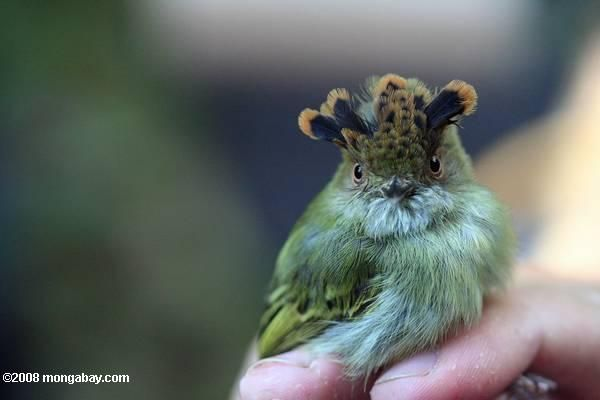 The Scale-crested pygmy tyrant ranges from Costa Rica to Peru and Venezuela. It feeds primarily on insects.