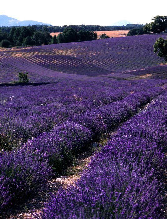 Lavender ~ Grasse, France