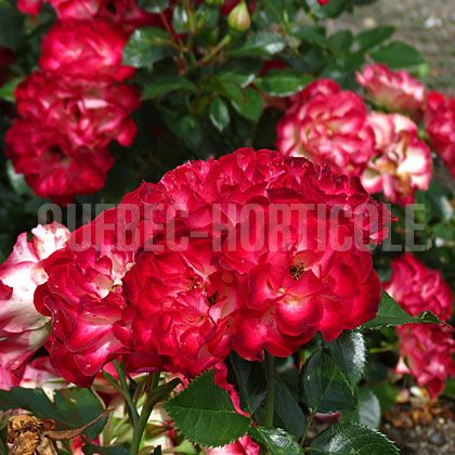 image de Rosa Never Alone