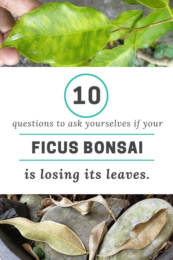 Losing Ficus Bonsai Leaves Problem Solved Ficus Bonsai Care Bonsai Ficus