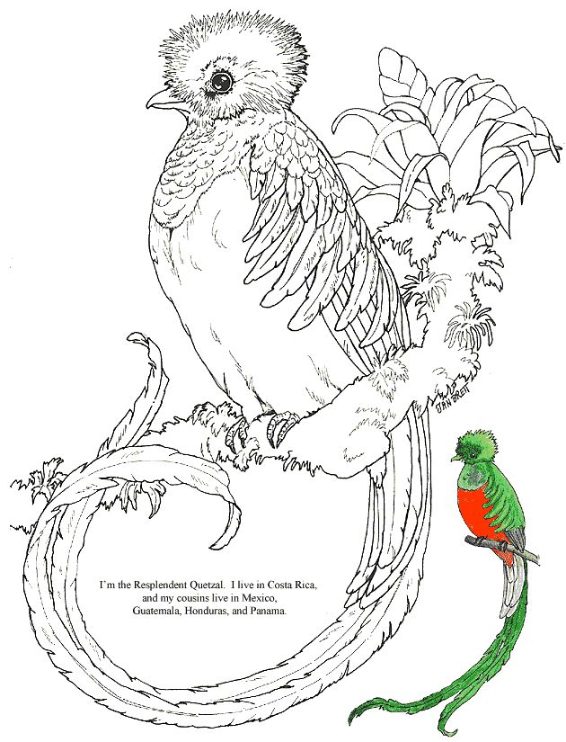 """""""Resplendent Quetzal"""" jungle bird coloring page courtesy of Jan Brett - a children's book illustrator! Her page has a whole collection of coloring pages, including various individual animals, like this."""