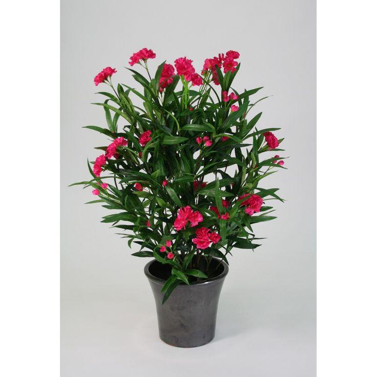 Laurier rose pour tous les animaux la plante est extr mement toxique des feuilles au tronc et - Arrosage laurier rose en pot ...
