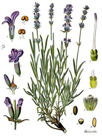Lavandula angustifolia(lavendermost commonlytrue lavenderorEnglish lavender