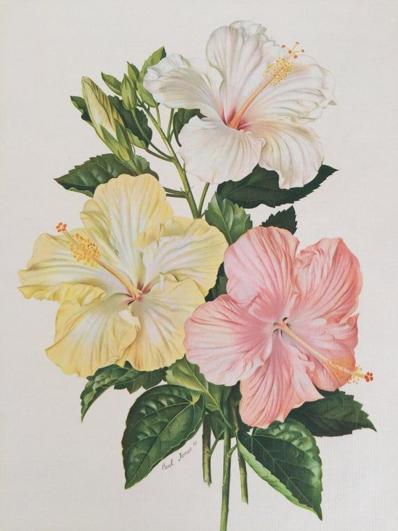 Flower Picture Print Reproduction Vintage Floral Book Plate Etsy In 2020 Flower Drawing Botanical Wall Art Vintage Flower Prints