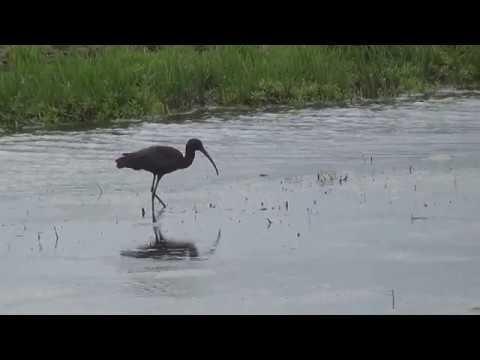 Zwarte #Ibis in Groenzoom #Pijnacker #Berkel #vogels - - YouTube