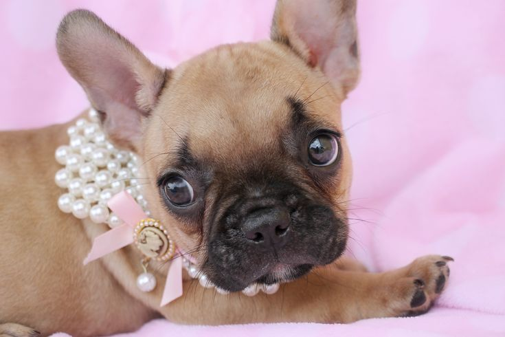 """French Bulldog """"Frenchie"""" Puppy by TeaCups <3"""