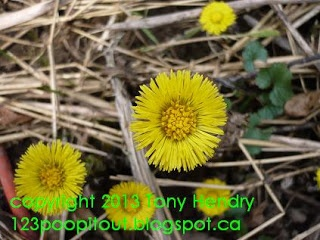 Hello Mr. Coltsfoot! First spring flower here....and the flower comes out b4 the leaves! Great medicinal plant too.