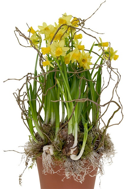 Potted Daffodils by Flower Factor, via Flickr