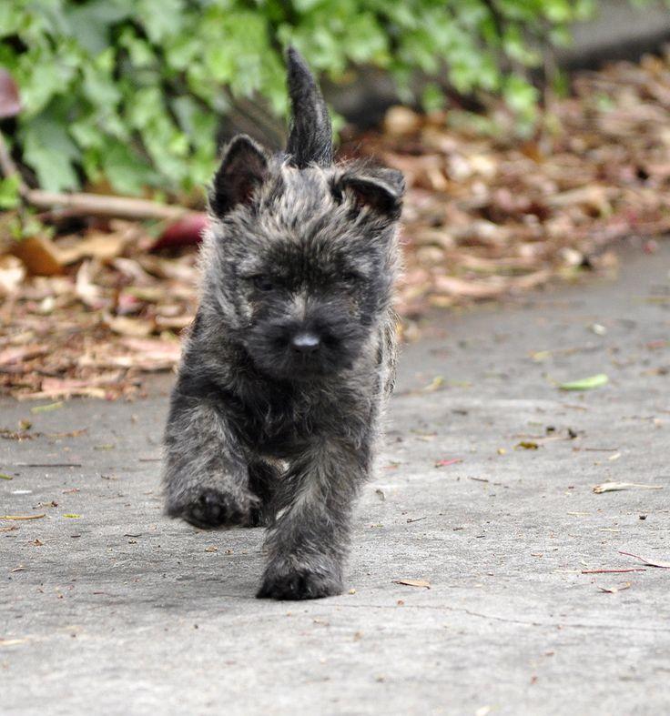 Bella - Wilmavohnne Cairn Terriers