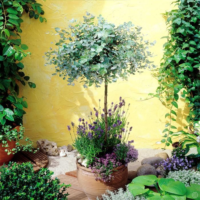 Eucalyptus Standard Anti Moustique - 1 arbre achetez en ligne sur internet commander vite