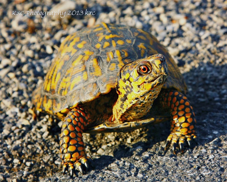 Eastern Box Turtle...
