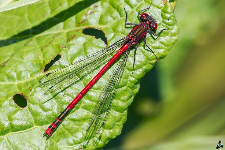 Vuurjuffer / large red damselfly (Pyrrhosoma nymphula)