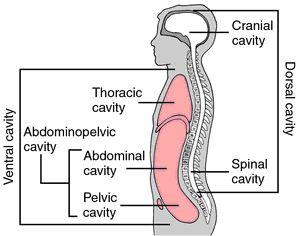 BODY CAVITYS