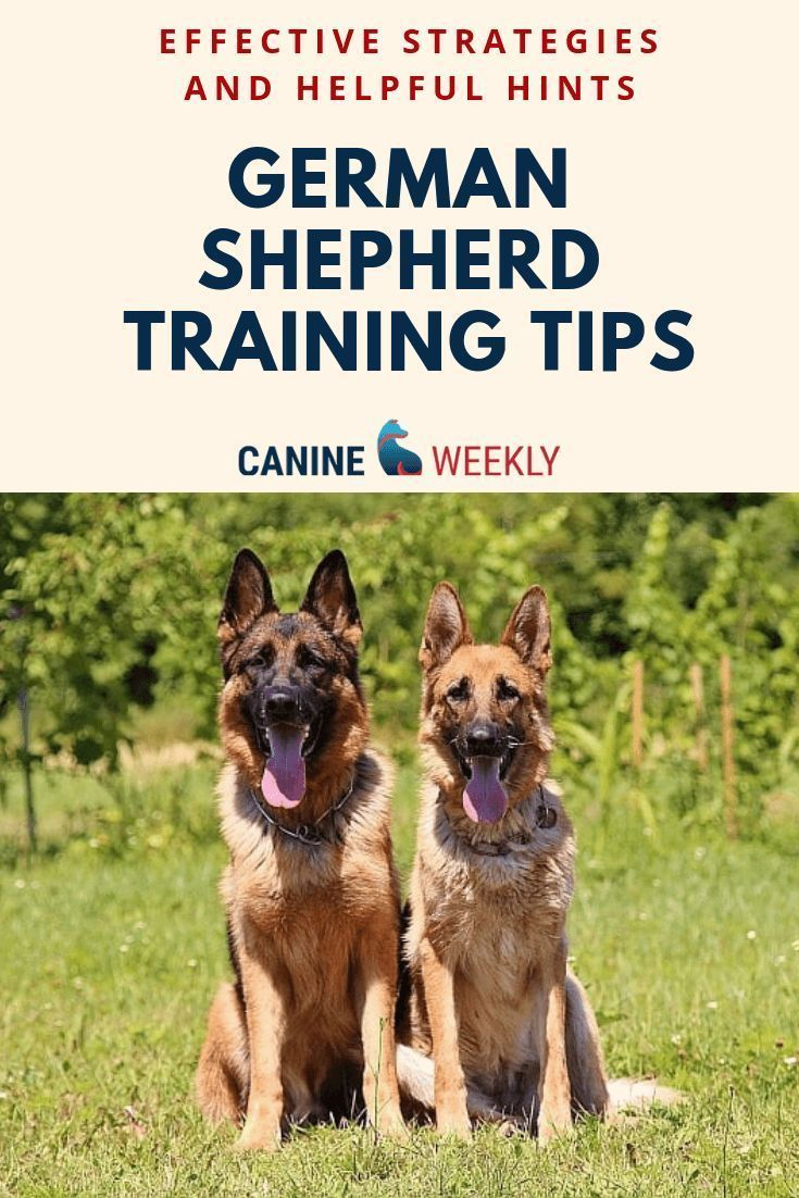 7 Basic German Shepherd Training Tips Basic And Helpful Hints