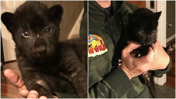 Chittenango's Wild Animal Park welcomes baby jaguar | WSTM