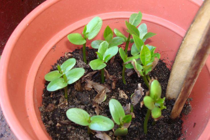 frangipani seedlings @169