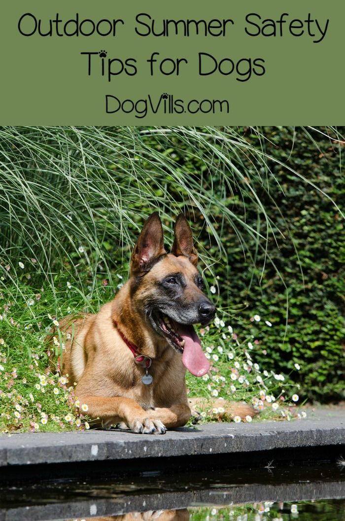 Best Guard Dogs For Hot Weather