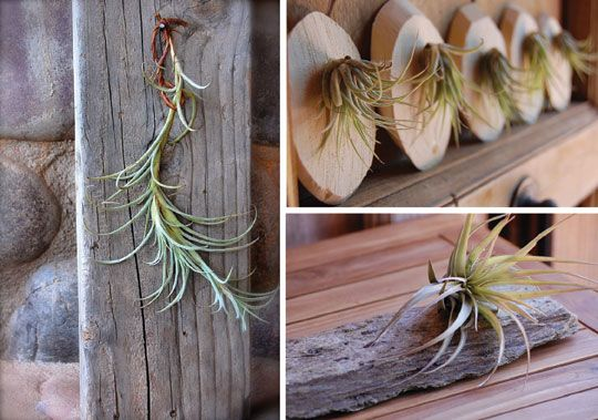 557 best air plants images on pinterest air plants for Air plant art