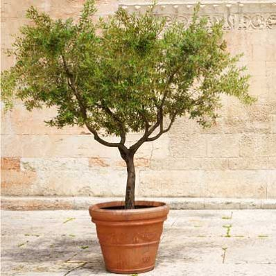 Healthy, Versatile Olives... Indoors! - The most versatile olive tree ever!   As well as being a table olive, it is used to produce a highly valued olive oil.   This tree offers evergreen beauty, fragrant spring blooms,  and succulent fruit. It is self-fertile and bears fruit earlier  than any other olive tree!     Arbequina is not...