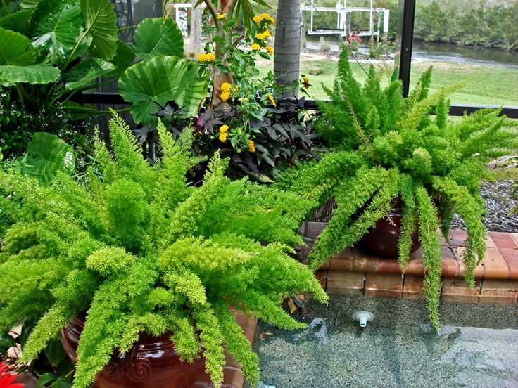 Foxtail Ferns - the perfect SHADE container plant! Springer Ryi in all it's forms is a great shade landscape plant. It does seed easily. Drought tolerant.