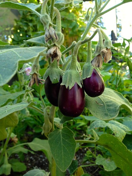 Ediblegardensla: Growing Eggplant In A Garden In Laurel Canyon.
