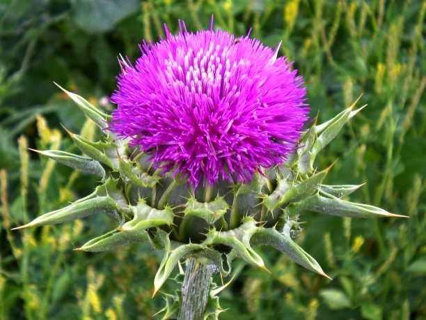 eniaftos: Oral milk thistle extract stops colorectal cancer stem cells from growing tumors