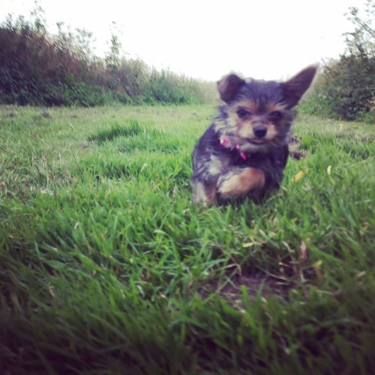 Wait for me! #bowtieterry #dogsofinstagram #dogoftheday #dogs_of_instagram #dogsofig #dogstagram #dogslife #chihuahuasofinstagram #yorkiesofinstagram #chorkiesofinstagram #chorkie #chorkiepuppy