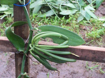 I have a vanilla plant, and this site has great tips for growing them!