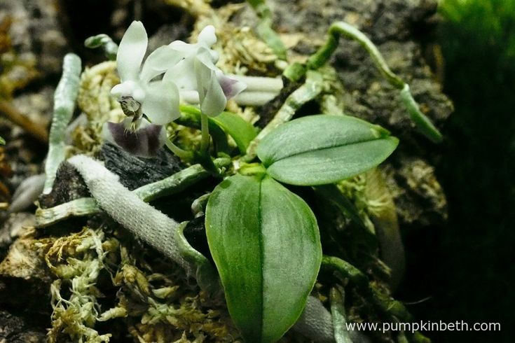 I am utterly in love with this miniature orchid!  Phalaenopsis parishii has captured my heart!  Phalaenopsis parishii is pictured here, inside my BiOrbAir terrarium on the 6th May 2016.