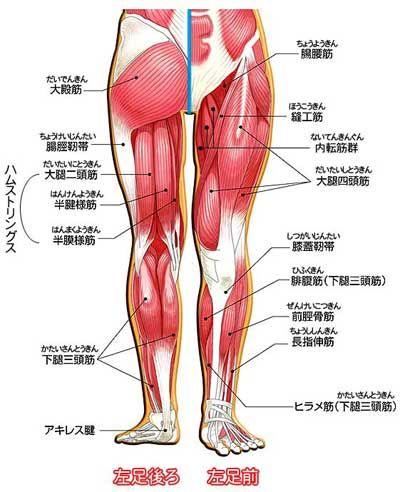 ハムストリングス 太ももの裏側の筋肉群。半腱様筋(はんけんようきん)、半膜様筋(はんまくようきん)、大腿二頭筋(だいたいにとうきん)の3つの筋肉の総称で、主に膝を曲げる働きをする