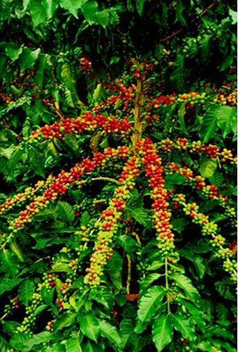 Planta de café, Costa Rica.