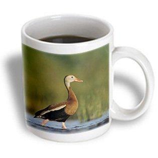 3dRose Black-bellied Whistling-Duck, Corpus Christi, TX - NA02 RNU0372 - Rolf Nussbaumer, Ceramic Mug, 15-ounce
