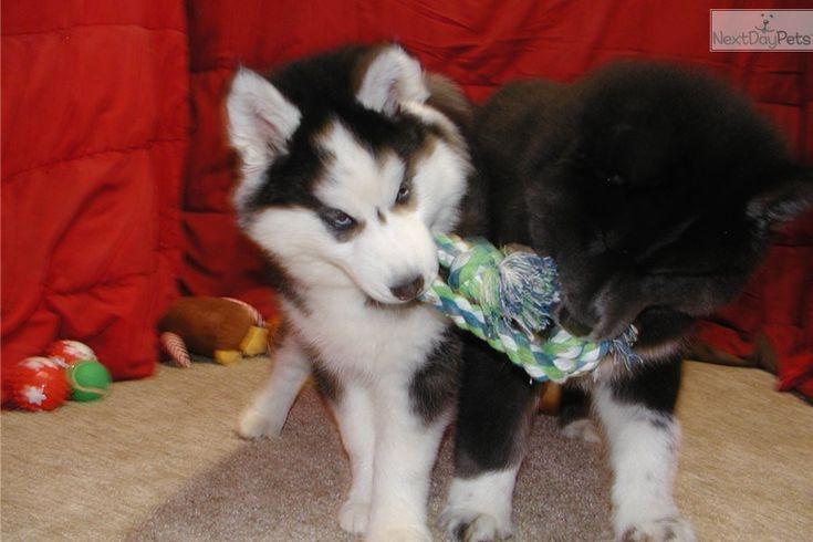 Dakota siberian husky puppy for sale near st joseph