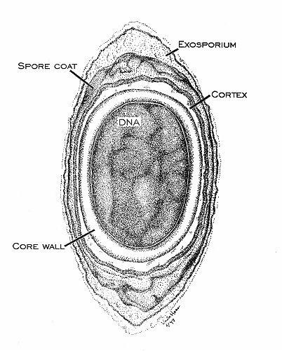 Procaryotes: Archaea and Bacteria. - Un PROCARYOTE (du latin pro avant, et du grec karyon noyau) ou MONERE, est un être vivant unicellulaire dont la structure cellulaire ne comporte pas de noyau, et très rarement des organites. Egalement désignés par Monéres, Monera, Prokaryota, Prakarya ou Schizophyta, les procaryotes forment des êtres vivants partageant la même structure cellulaire. Dans la classification du vivant en 5 règnes, les procaryotes regroupent les archées et les bactéries
