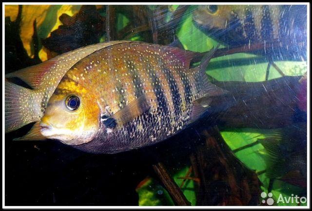 Мальки редкой рыбы Этроплюс Суратэнсис (шри-ланка)