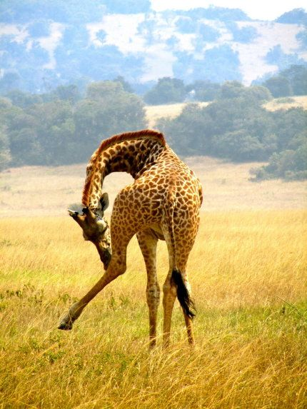 Giraffe, Rwanda. Your Best Travel Photos of 2013 Contest - SmarterTravel.com
