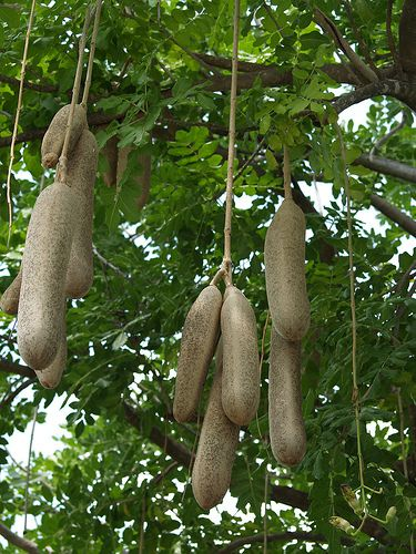 This is a common sausage tree which grows in South Africa too.