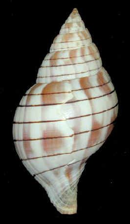 Banded Tulip