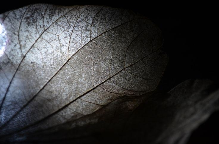 Chiaroscuro Photography Leaf by Fiona Groom