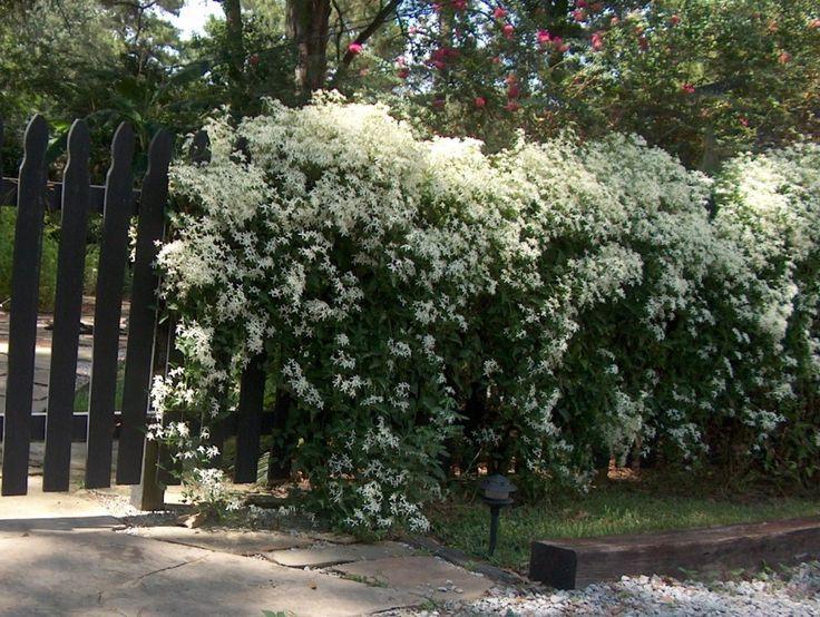Clematis terniflora / Clematis terniflora - OnlinePlantGuide.com 2491