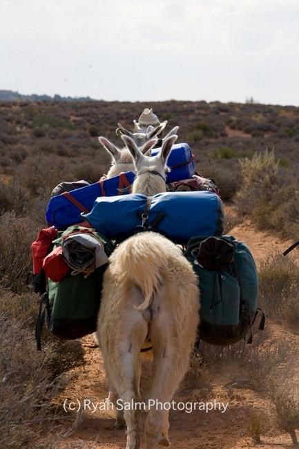 follow that llama!