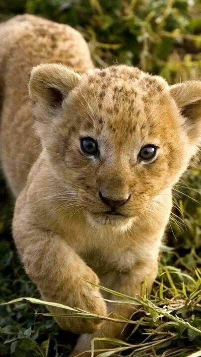 Lionceau #lecomptedemarie