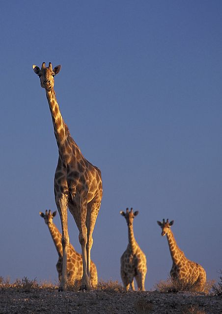 the zoology of giraffes giraffa camelopardalis Spatial ecology and habitat use of giraffe (giraffa camelopardalis) in south africa giraffe (giraffa camelopardalis) african zoology, 50 (4.