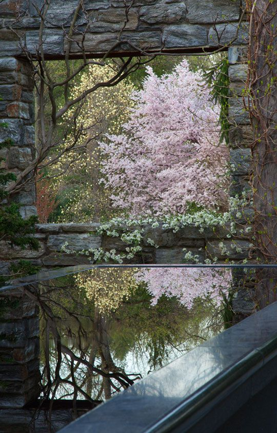 Magnolia 'Elizabeth' and Prunus 'Accolade' are reflected in the Water Table at The Ruin. Chanticleer, PA
